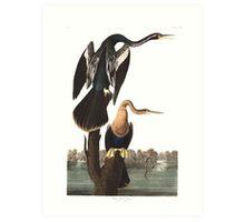 Anhinga - John James Audubon Art Print