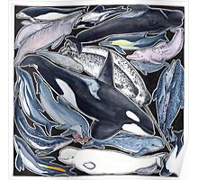 Dolphins, orcas, belugas, narwhals, and cie Poster