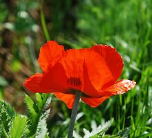 Giant Red Poppy by jojobob