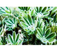 Water Drop on Lupin Leaves Photographic Print