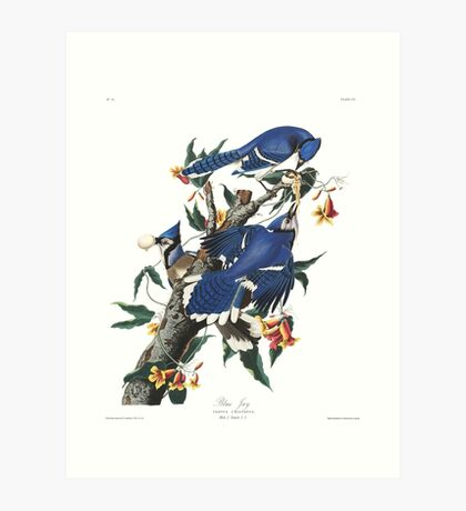 Blue Jay - John James Audubon Art Print