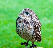 Close up portrait of little Owl against green background by Stanciuc