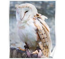 View of Barn owl sitting on falconer glove Poster