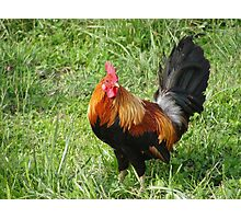 Little Rooster Photographic Print
