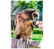 Close up portrait of brown wood Owl sitting on falconer glove Poster