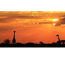 Giraffe - Love of Sunsets - African Wildlife Background Photographic Print