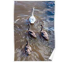 Beautiful swan familiy with nestlings in lake Poster