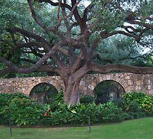 Alamo Cotton Tree - Alamo San Antonio Texas- PICTURE- CARD- PILLOW by ✿✿ Bonita ✿✿ ђєℓℓσ