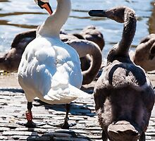Beautiful swan familiy with nestlings in lake by Stanciuc