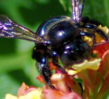 Bumblebee on Lantana Sticker