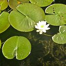 Water Lily by Shulie1