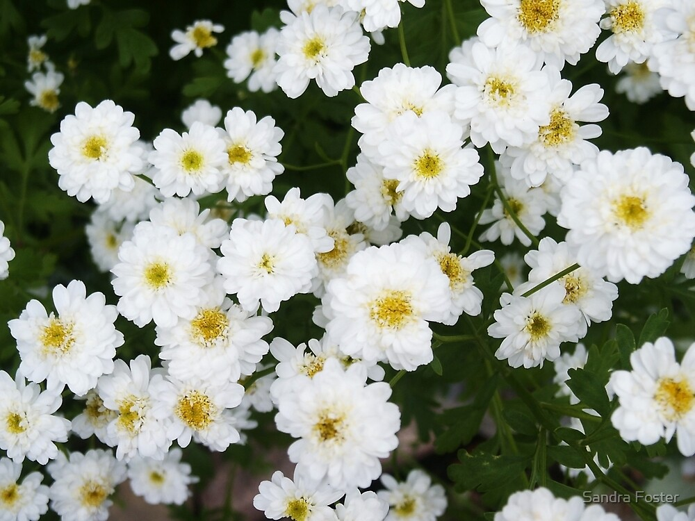Matricia Daisies by Sandra Foster