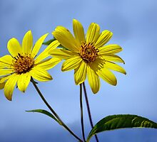 Wild Sunflowers by cclaude