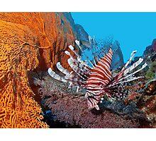 Red Lionfisch - Pazifischer Rotfeuerfisch Photographic Print