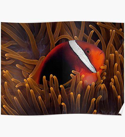 Tomato Anemonefish Poster