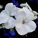 White Geranium by AnnDixon