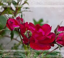 Old Fashioned Roses by Sandra Foster