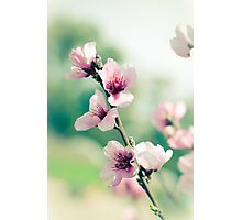 Cherry Blossoms in Spring Photographic Print