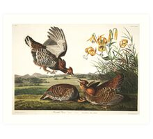 Greater Prairie-Chicken - John James Audubon Art Print
