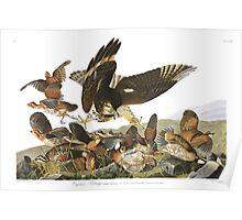 Northern Bobwhite - John James Audubon Poster