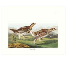 Sharp-tailed Grouse - John James Audubon Art Print