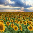 Texas Wildflower Images - Sunflower Fields of Summer 7 by RobGreebonPhoto