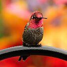 ANNAS HUMMINGBIRD by RoseMarie747