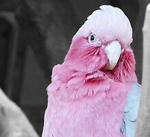 Galah by Sharon Brown