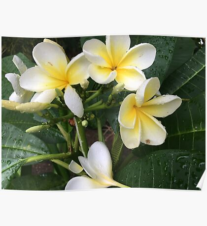 Jamaican Flowers Poster