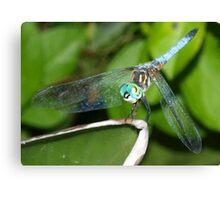 Blue dragonfly with aqua eyes Canvas Print