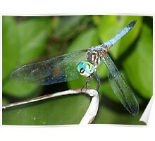 Blue dragonfly with aqua eyes Poster
