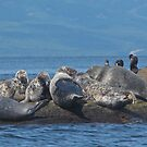 Grey Seals and Cormorants Off the Cabot Trail by caybeach