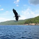 Bald Eagle  by caybeach