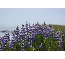 Lupine Flowers on a Cliffside Photographic Print