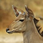 Kudu Bull Calf - Innocent Beauty by LivingWild