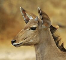 Kudu Bull Calf - Innocent Beauty by LivingWild