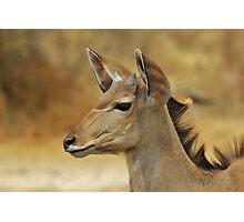 Kudu Bull Calf - Innocent Beauty Photographic Print