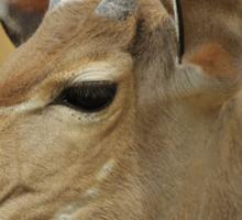 Kudu Bull Calf - Innocent Beauty Sticker