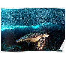Turtle and Sardines Poster