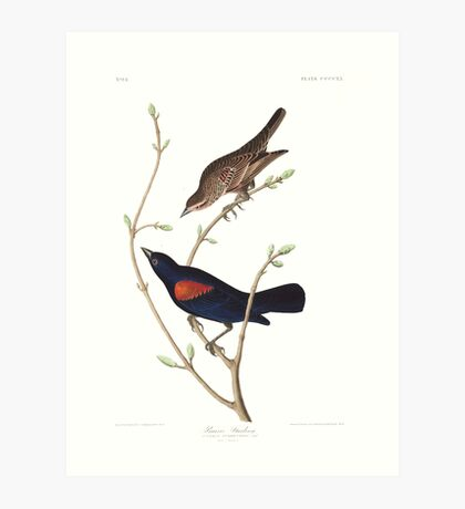 Red-winged Blackbird - John James Audubon Art Print