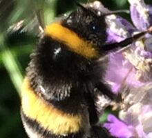 Bumble Bee on Lavender Sticker