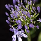 flower- agapanthus-blue-buds-one-flower by Joy Watson