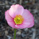 Pink Poppy by Sharon Brown