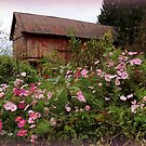 Cosmos and the Old Red Barn by TrendleEllwood
