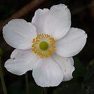 Anemone hupehensis var. japonica by Woodie