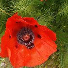 Poppy In The Rain by Circe Lucas