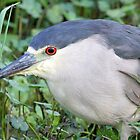 Black Crowned Night Heron by jozi1