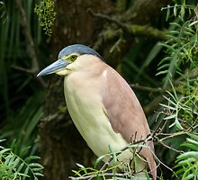Nankeen Night Heron 2 by Margaret Saheed