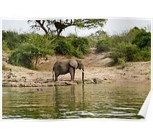 Elephant in the african savannah Poster