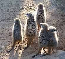 Sunlit Meerkats by Margaret Saheed